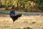 African Fish Eagle — Stock Photo