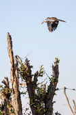 Chobe ulusal parkı — Stok fotoğraf