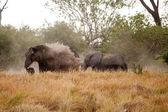 Afrikanska elefanter i okavango delta — Stockfoto