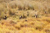 Wild Dogs at Okavango Delta — Stock Photo