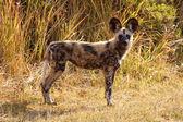 Wild Dog at Okavango Delta — Stock Photo