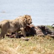Lion Eating Buffalo — Stock Photo #48714211