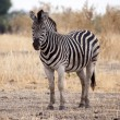 Постер, плакат: Zebra at Okavango Delta