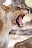 Angry Lion Growl — Stock Photo