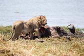 Lion Eating Buffalo — Stock Photo