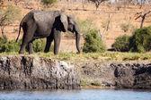 Elephant at Chobe River — Stock Photo