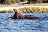 Hippopotamus in Chobe River — Stock Photo