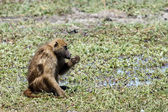 Baboon in Chobe National Park — Stock Photo