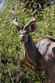 Greater Male Kudu — Stock Photo