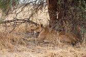 Lions at Okavango Delta — Stock Photo