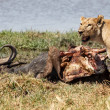 Lion Eating Buffalo — Stock Photo #49066131