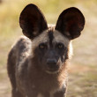 Постер, плакат: Wild Dog at Okavango Delta