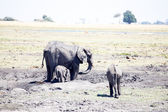 Elephants in Chobe National Park — Stock Photo
