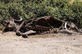 Dead buffalo in Chobe Park — Stock Photo