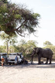 Hungry Elephant attacks tourists — Foto Stock