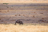 Warthog in Okavango Delta — Stock Photo
