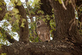 Verreaux Eagle-Owl — Stock Photo
