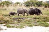 African Elephants in Okavango Delta — Stock Photo
