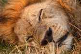 Lion at Okavango Delta — Stock Photo