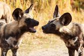 Wild Dogs at Okavango Delta — Stock Photo