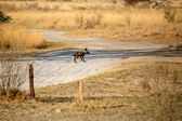 Wild Dog at Okavango Delta — Stock Photo