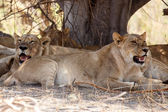 Lions at Okavango Delta — Stock Photo