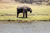 Elephant at Chobe River — Stock Photo