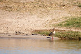 Egyptian Goose in Chobe River — Stock Photo