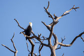 African Fish Eagle — Fotografia Stock