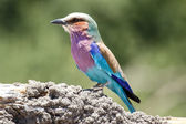 Lilac Breasted Roller Bird — Stock Photo