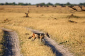 Black-Backed Jackal — Stock Photo