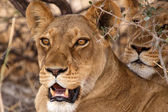 Female Lions at Okavango Delta — Stock Photo