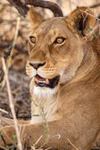 Female Lion at Okavango Delta — Stock Photo
