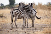 Zebras at Okavango Delta — Stock Photo