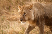Lion at Okavango Delta — Stock Photo