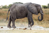 African Elephant in Okavango Delta — Stock Photo