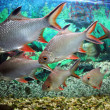 Group of fishes in aquarium tank — Stock Photo