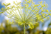 Fennel flower — Stock Photo