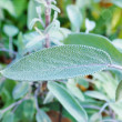Sage (Salvia) Salbei - Stock Photo