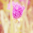 Purple Allium Garlic Flowers — Stock Photo