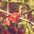 Crimson Flowering Quince — Stock Photo