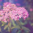 Spiraea japonica — Stock Photo