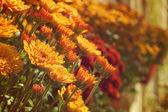 Chryzantemowe kwiecie — Zdjęcie stockowe