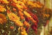 Crisantemos — Foto de Stock