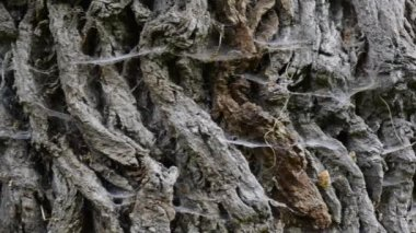 Bark with spider web on old tree — ストックビデオ