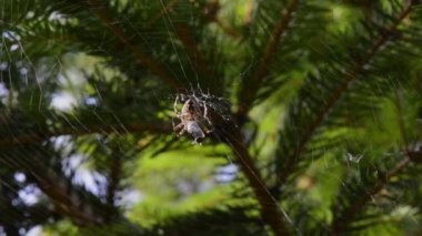 Small spider eating a fly in his web — Stock Video
