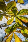 Autumn chestnut leafs — Stock Photo