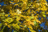 Autumn yellow maple leafs — Stock Photo