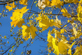 Herfst gele maple leafs — Stockfoto