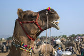 Camel decorated head at the Pushkar Fair, Rajasthan, India — Stock Photo